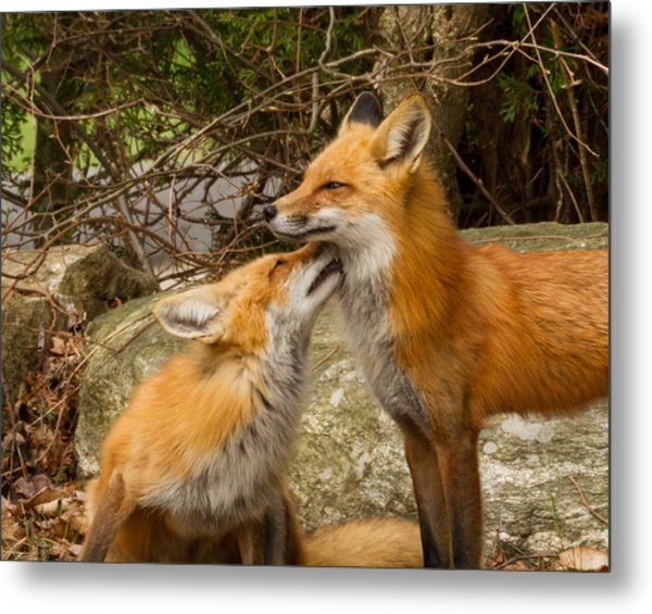 Foxes In Love Metal Print