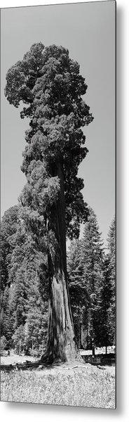 Giant Sequoia, Sequoia Np, Ca Metal Print