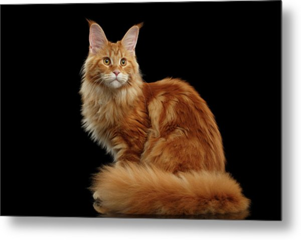 Ginger Maine Coon Cat Isolated On Black Background Metal Print
