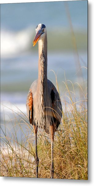 Great Blue Heron  Metal Print