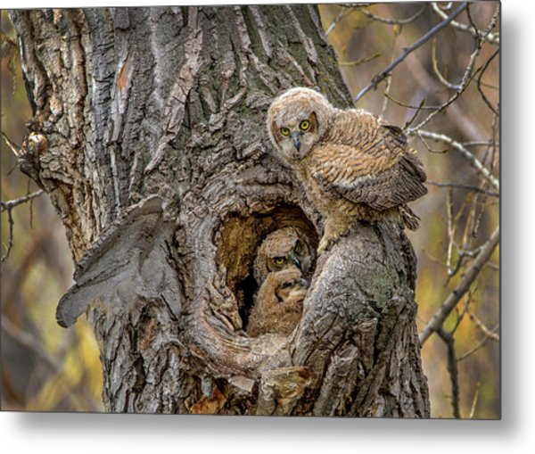 Great Horned Owlets In A Nest Metal Print
