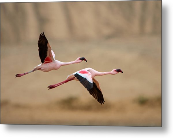 Greater Flamingos Phoenicopterus Roseus Metal Print