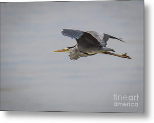 Grey Heron Metal Print