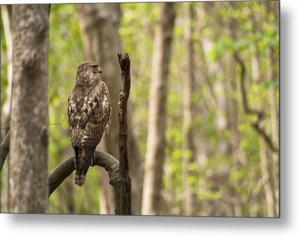 Hawk Hunting In The Woods Metal Print
