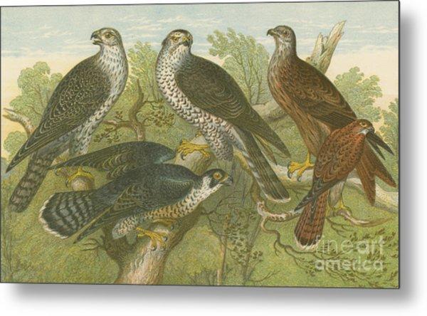 Hawks And Falcons Metal Print