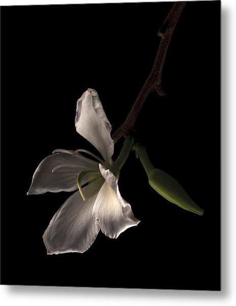 Hong Kong Orchid Metal Print by Lou  Novick