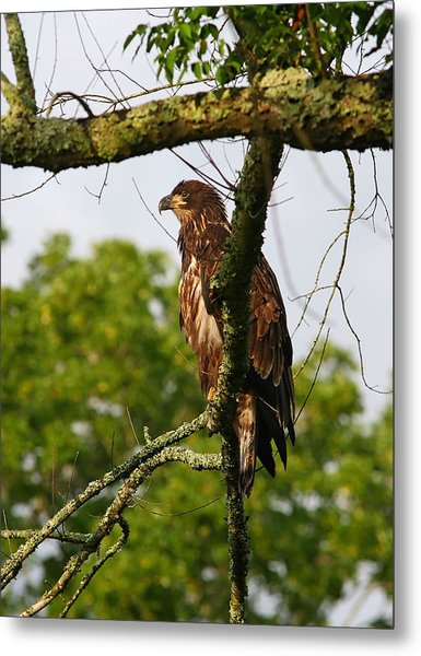 Immature Bald Eagle Metal Print by James Jones
