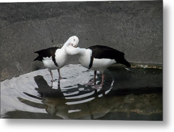 Kissing Ducks Metal Print