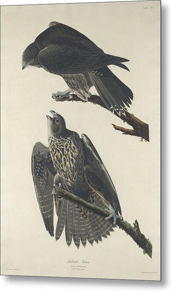 Labrador Falcon Metal Print