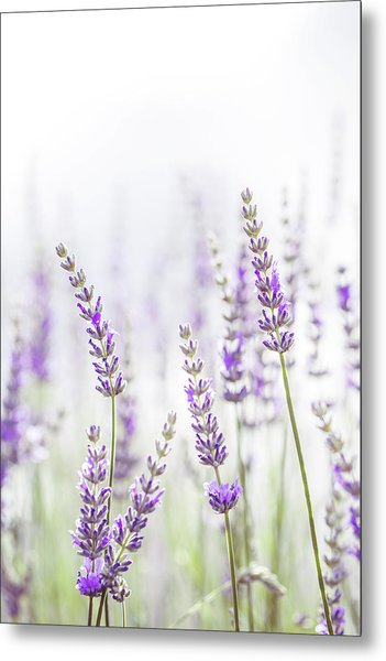 Lavender Flower In The Garden,park,backyard,meadow Blossom In Th Metal Print