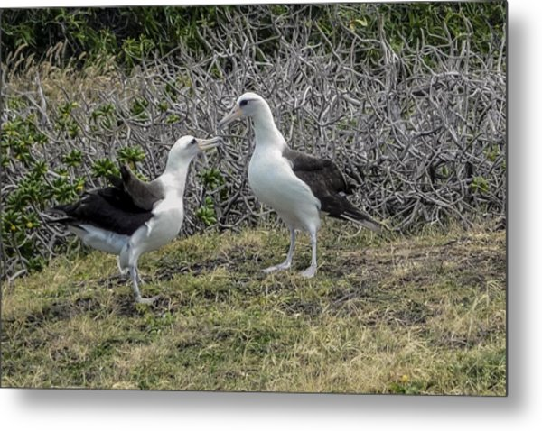 Laysan Albatross Hawaii #2 Metal Print