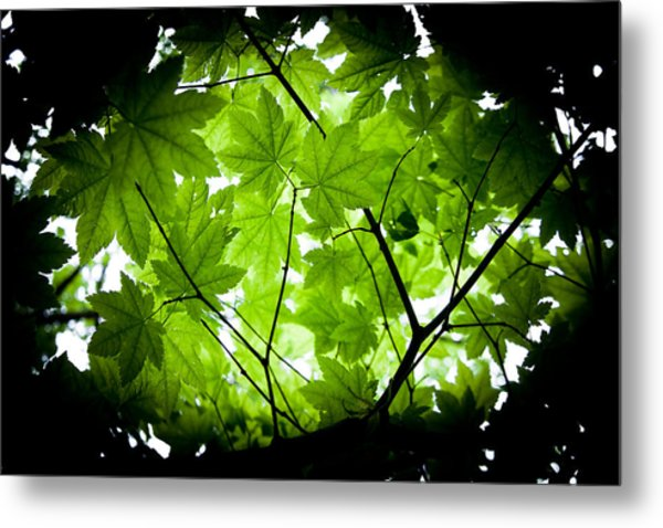 Light On Maple Leaves Metal Print by Jonathan Hansen