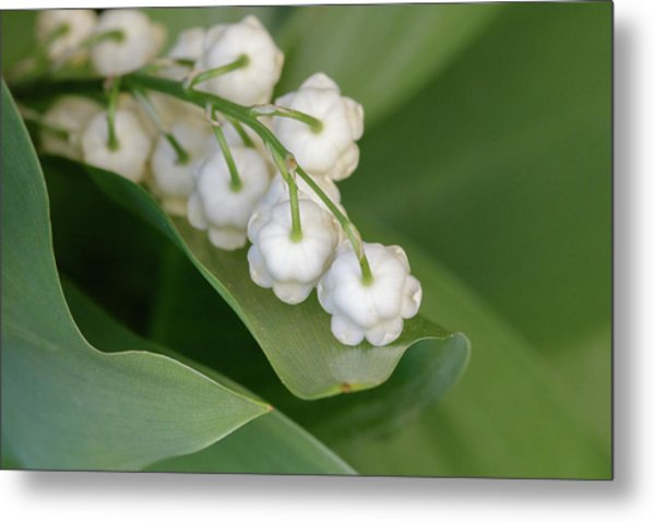 Lily Of The Valley Metal Print by Rodger Werner