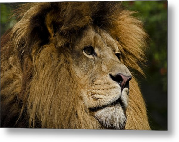 Lion Gaze Metal Print