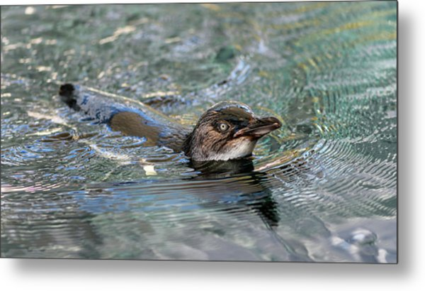 Little Penguin In The Water Metal Print