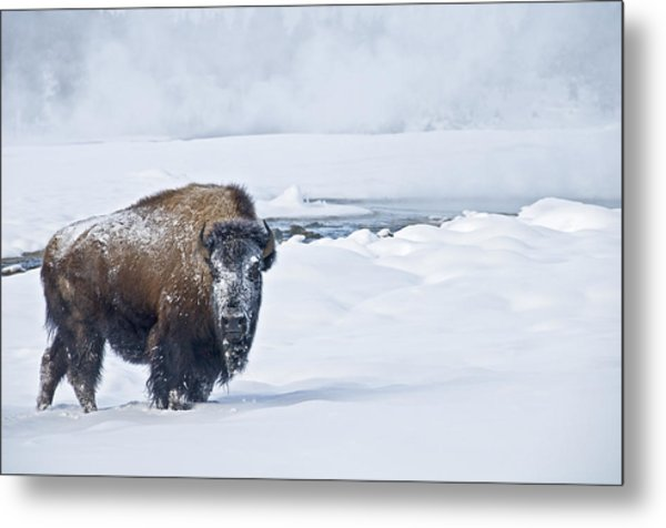 Metal Print featuring the photograph Lone Bison by Gary Lengyel