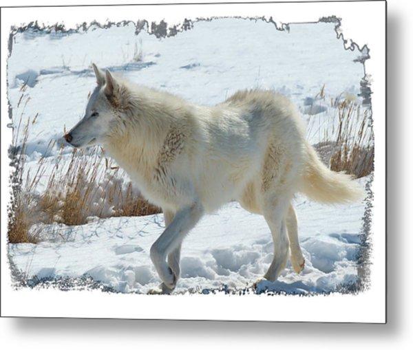 Lone White Wolf Metal Print