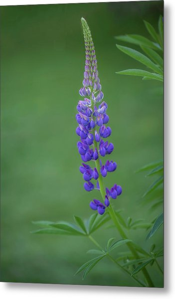 Graceful Lupine Metal Print