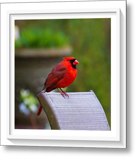 Metal Print featuring the photograph Male Cardinal by Robert L Jackson