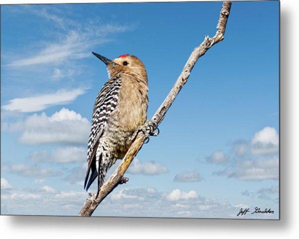 Male Gila Woodpecker Metal Print