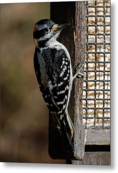 Metal Print featuring the photograph Male Hairy Woodpecker by Robert L Jackson