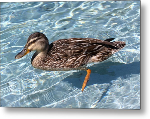 Mallard Duck Metal Print by Stephen Athea