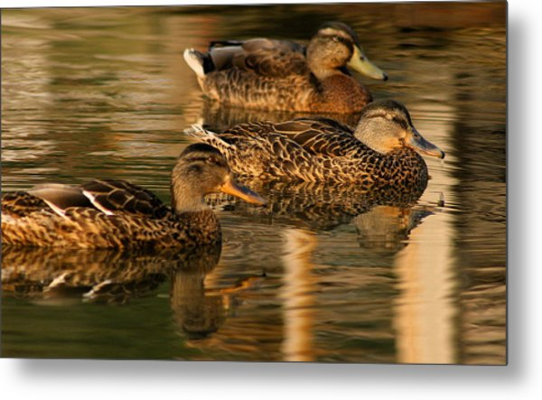 Mallards Swimming In The Water At Magic Hour Metal Print