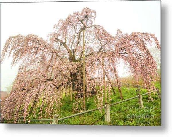 Miharu Takizakura Weeping Cherry02 Metal Print