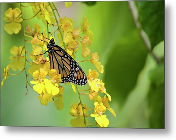 Monarch Butterfly On Yellow Orchids Metal Print