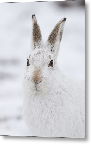 Mountain Hare In The Snow - Lepus Timidus  #1 Metal Print