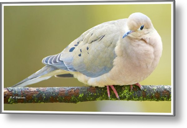 Mourning Dove On Tree Branch Metal Print