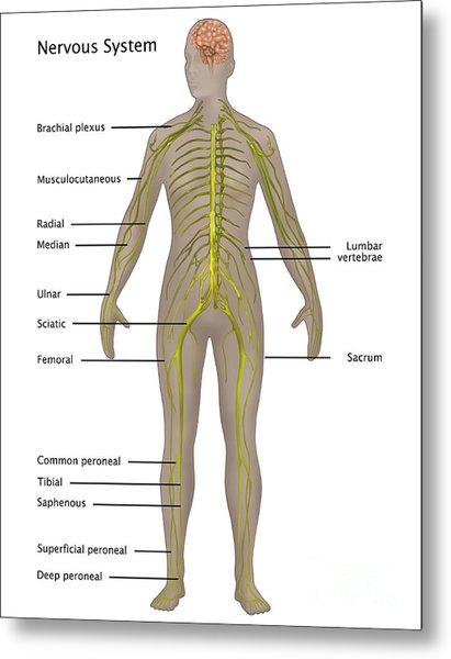 Nervous System In Female Anatomy Metal Print