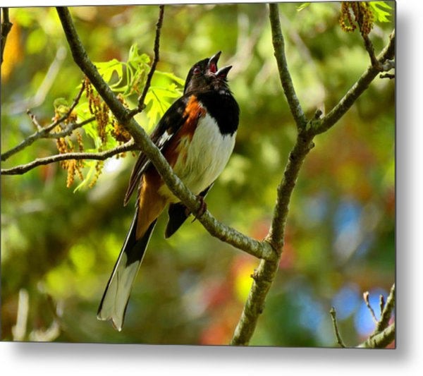 Towhee In Song Metal Print