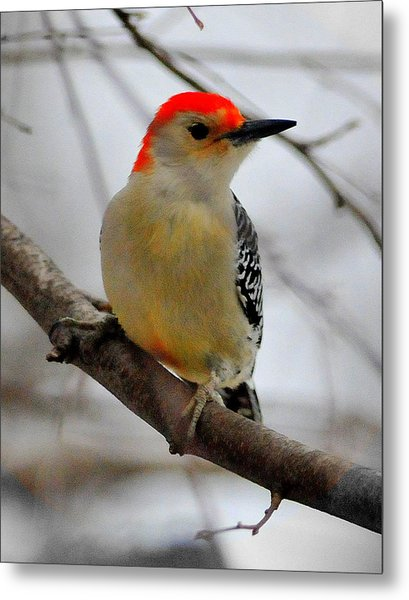 Nuttall's Woodpecker Metal Print by Aron Chervin