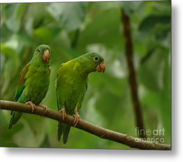 Orange -chinned Parakeets  Metal Print