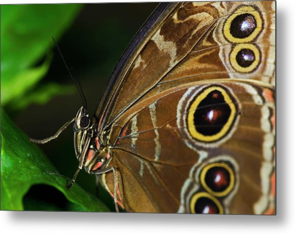 Owl Buttterfly Metal Print