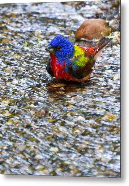 Da223 Painted Bunting Bathtime Daniel Adams Metal Print