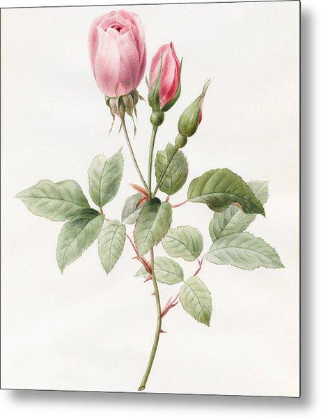 Pink Rose And Buds Metal Print