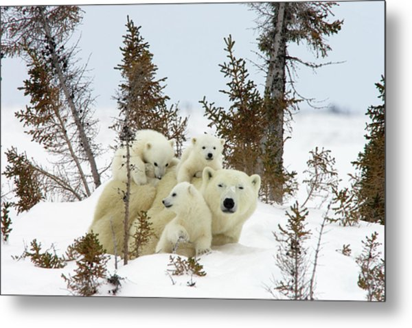 Polar Bear Ursus Maritimus Trio Metal Print