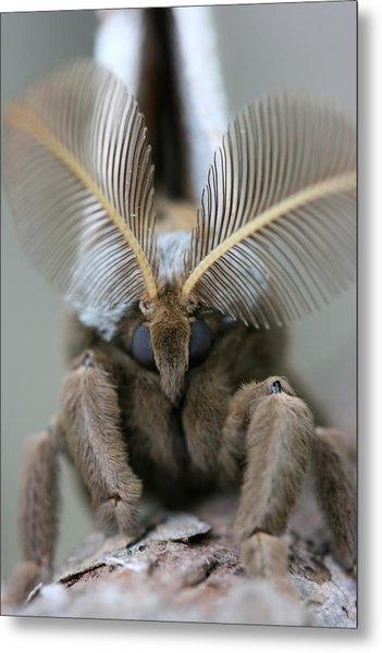 Polyphemus Moth Metal Print by Betsy LaMere
