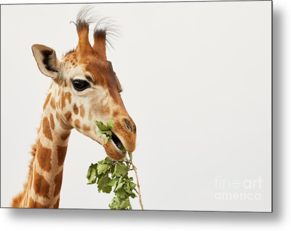 Portrait Of A Rothschild Giraffe  Metal Print