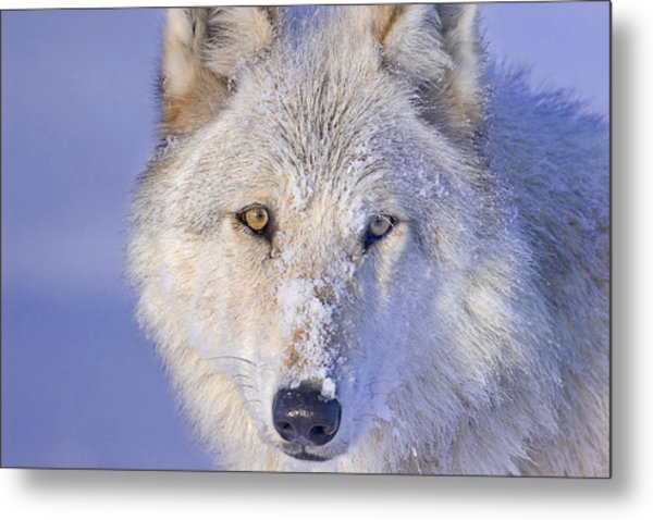 Portrait Of The White Wolf 540f Metal Print