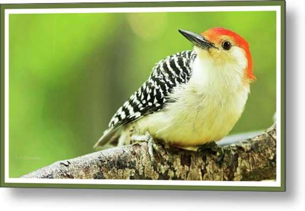 Red Bellied Woodpecker, Male, Animal Portrait Metal Print