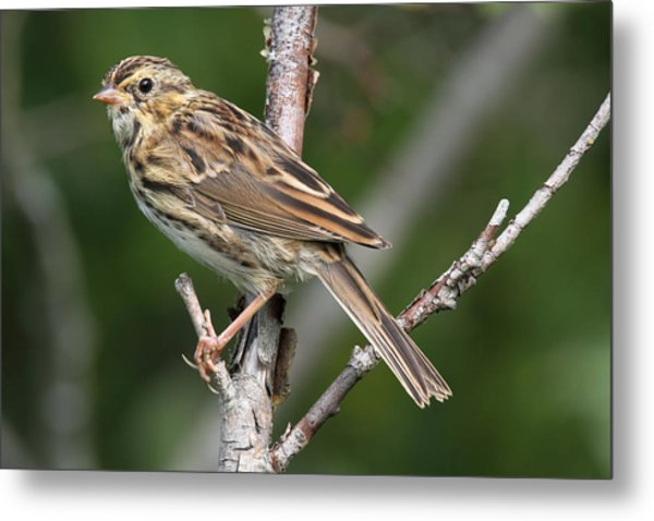 Savannah Sparrow Metal Print