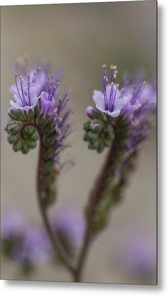 Metal Print featuring the photograph Scorpion Weed by Deborah Hughes