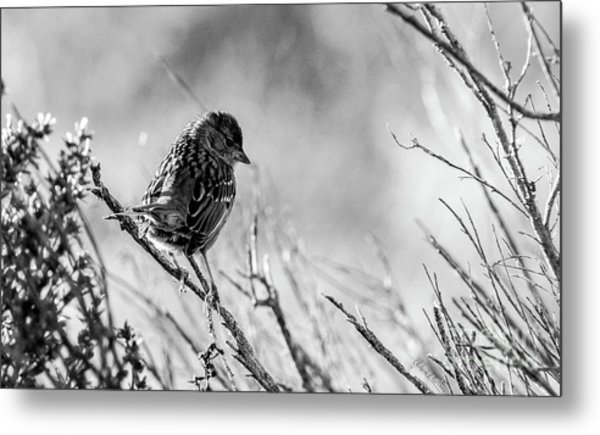 Snarky Sparrow, Black And White Metal Print