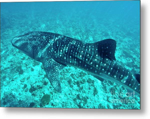 Spotted Whale Shark Metal Print by Sami Sarkis