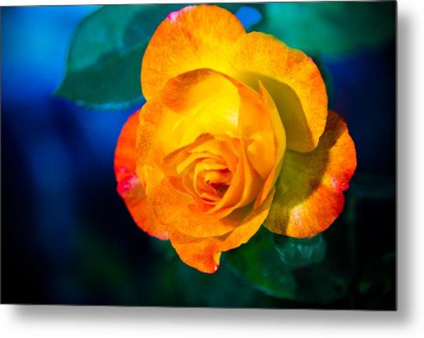 Spring Rose Metal Print by Barry Jones