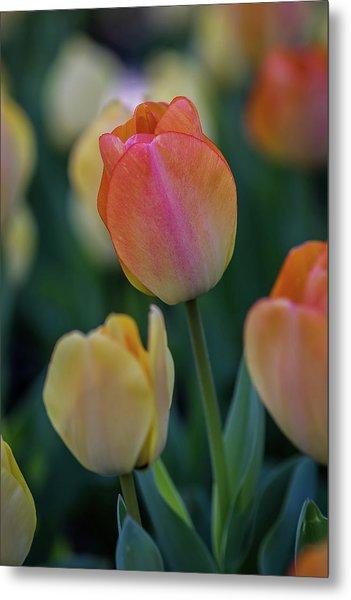 Spring Tulip Metal Print