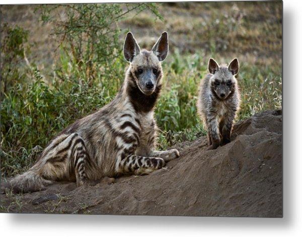 Striped Hyena Hyaena Hyaena Metal Print